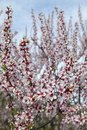 Almond flower trees field in spring season Royalty Free Stock Photo