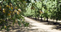 Almond Orchard Royalty Free Stock Images