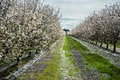 Almond orchard in early bloom Royalty Free Stock Photo