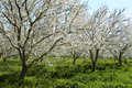 Almond Orchard With White Bloo Royalty Free Stock Photo