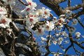 Almond tree Stock Photos