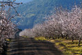 Almond tree Stock Photography