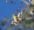 Almond tree bird flowers blue sky parus major major linnaeus Stock Photo