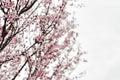 Almond tree Royalty Free Stock Photo