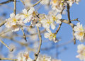 Almond tree flowers blue sky spring background bees Stock Photos