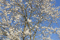 Almond tree flowers blue sky spring background bees Stock Photography