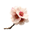 Almond tree pink flowers Royalty Free Stock Photo