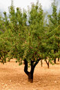 Almond tree with ripe fruits Royalty Free Stock Image
