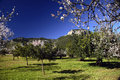 Almond Trees Royalty Free Stock Images