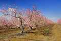 Almond trees. Royalty Free Stock Photography