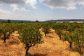 Almond Trees Orchard Stock Photos