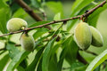 Almonds unripe on tree in spring Stock Photography