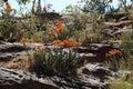 Aloe aloe berhana in africa blossoms of an Royalty Free Stock Photography