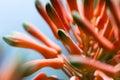 Aloe bloom close up Royalty Free Stock Photo