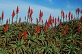 Aloe flowers on blue sky background bushes are growing thickly the fleshy leaves of muted green and bright red flower Stock Photo