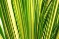 Aloe leaves Stock Photography