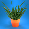Aloe in orange pot Royalty Free Stock Photography