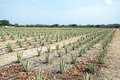 Aloe plants being cultivated in a field on Aruba Island Royalty Free Stock Photo