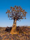 Aloe quiver tree in kokerboom forest near keetmanshoop namibia Stock Images
