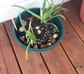 stock image of  Aloe vera