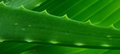 Aloe vera on banana leaf Royalty Free Stock Images