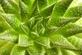 Aloe vera beautiful with many details Stock Photos