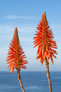 Aloe vera blooms bright orange cactus framed against a beautiful blue sky and ocean during a bright sunny day Royalty Free Stock Images