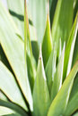 Aloe vera close up Stock Photos