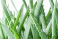 Picture : Aloe vera