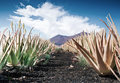 Aloe vera field furteventura canary islands spain Stock Photos