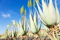 Aloe vera field furteventura canary islands spain Royalty Free Stock Images