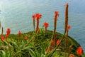 Aloe vera flower blooming near the ocean on the island of Madeira