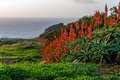 Aloe vera flower blooming near the ocean at sunrise on the island of Madeira