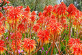 Aloe vera flowers Royalty Free Stock Photo