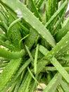 Aloe vera ,fresh green aloe vera, Aloe Vera - Live Potted House Plant Royalty Free Stock Photo