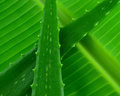 Aloe vera isolated on a banana leaf Royalty Free Stock Image