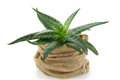 Aloe vera in jute flower pot on white background Royalty Free Stock Image