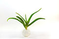 Aloe vera plant Stock Photos