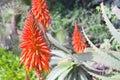 Aloe vera plant flower bloom Royalty Free Stock Photo