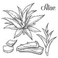 Aloe Vera plant hand drawn engraving vector illustration on white background. Ingredient for traditional medicine, treatment, body