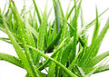 Aloe vera plant white background Royalty Free Stock Photo