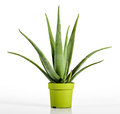 stock image of  Aloe Vera Plant on Yellow Green Pot