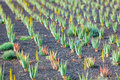 Aloe vera plantation in the canary islands Royalty Free Stock Photo