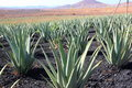 Aloe vera plantation fuerteventura canary islands field spain Royalty Free Stock Photo