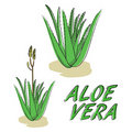 Aloe Vera vector Royalty Free Stock Photos