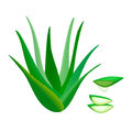 Aloe Vera whole and slices, juice drop. Herbal medicine Royalty Free Stock Photo