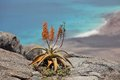 Aloe wild vera from socotra island Stock Photos