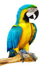Alone colorful parrot standing branch Royalty Free Stock Photos