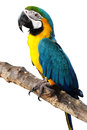 Alone colorful parrot standing branch Royalty Free Stock Image