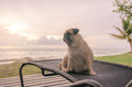 Alone cute pug dog tongue sticking out sad and sit alone on beach chair with summer sea and looking at cloudy sunset Royalty Free Stock Photo